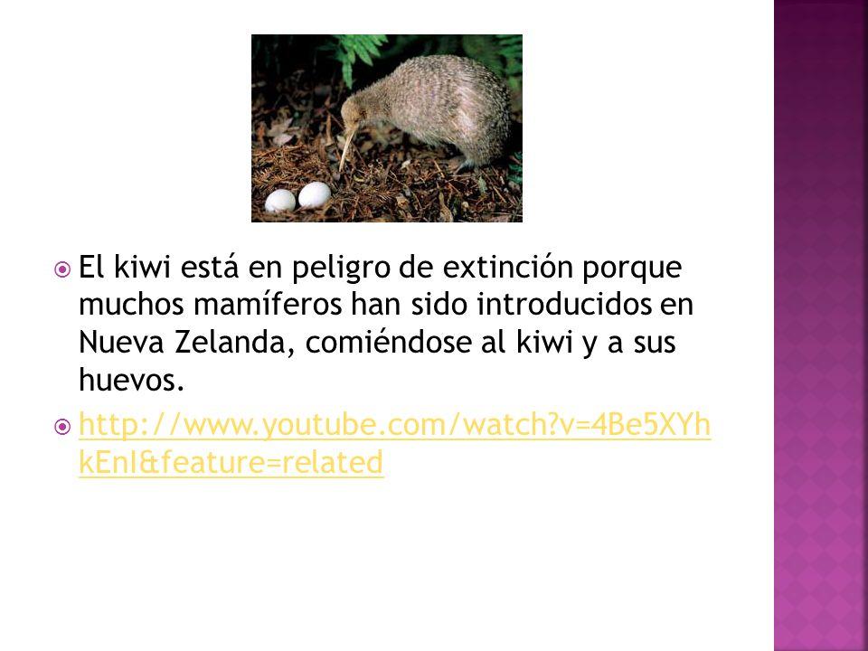 El kiwi está en peligro de extinción porque muchos mamíferos han sido introducidos en Nueva Zelanda, comiéndose al kiwi y a sus huevos. http://www.you