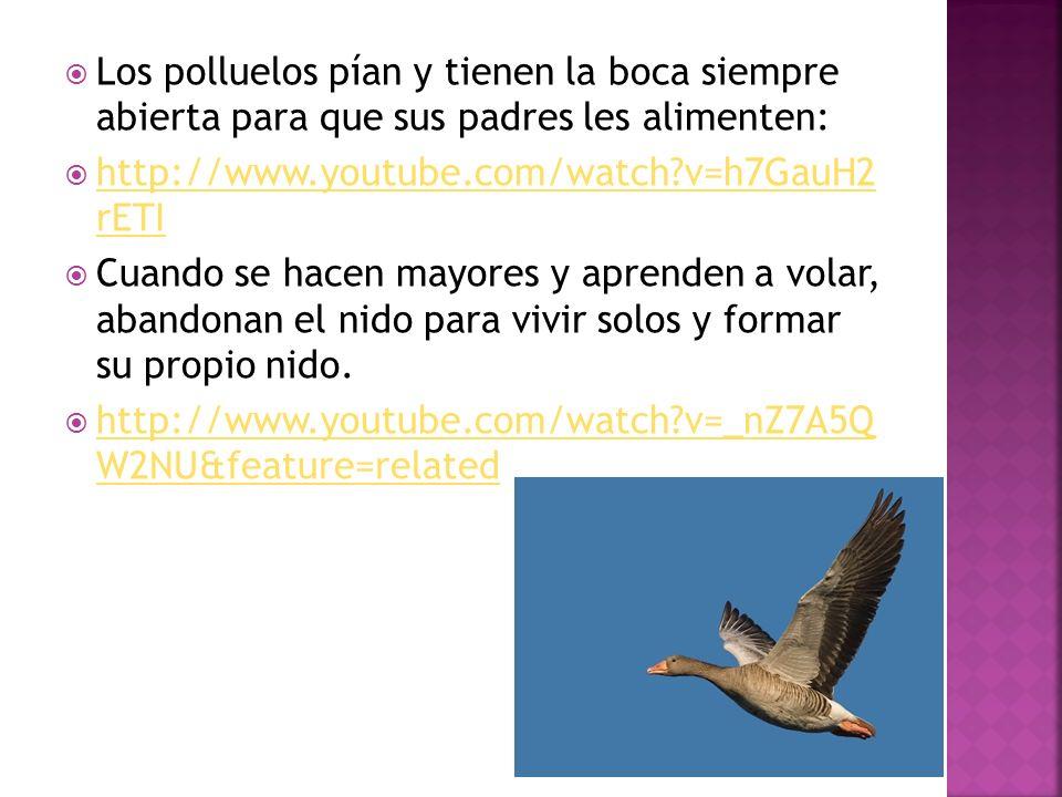 Los polluelos pían y tienen la boca siempre abierta para que sus padres les alimenten: http://www.youtube.com/watch?v=h7GauH2 rETI http://www.youtube.