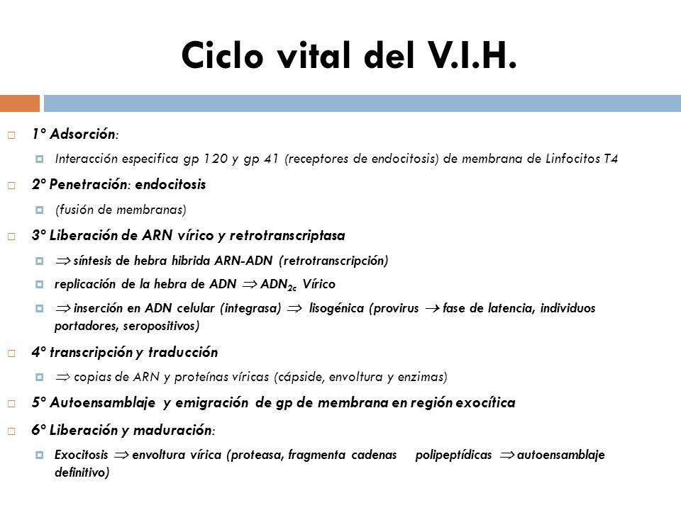 Ciclo vital del V.I.H. 1º Adsorción: Interacción especifica gp 120 y gp 41 (receptores de endocitosis) de membrana de Linfocitos T4 2º Penetración: en