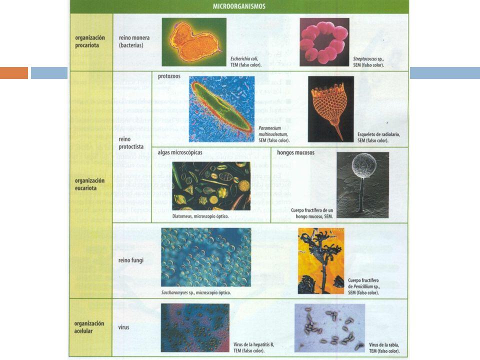 LOS VIRUS (bacteriofagos) 1º Adsorción 2º Penetración 3º Eclipse 4º Acoplamiento (autoemsamblaje) 5º Liberación y Lisis bacteriana 3º Inserción del ADN vírico profago 4º Inducción : Respuesta lítica