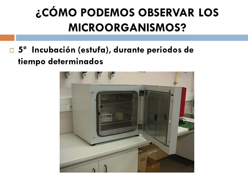 ¿CÓMO PODEMOS OBSERVAR LOS MICROORGANISMOS? 5º Incubación (estufa), durante periodos de tiempo determinados