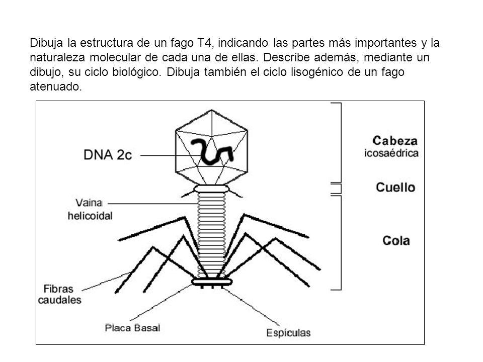 Dibuja la estructura de un fago T4, indicando las partes más importantes y la naturaleza molecular de cada una de ellas. Describe además, mediante un