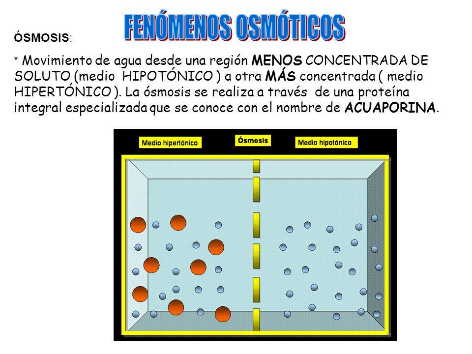 ÓSMOSIS: * Movimiento de agua desde una región MENOS CONCENTRADA DE SOLUTO (medio HIPOTÓNICO ) a otra MÁS concentrada ( medio HIPERTÓNICO ). La ósmosi