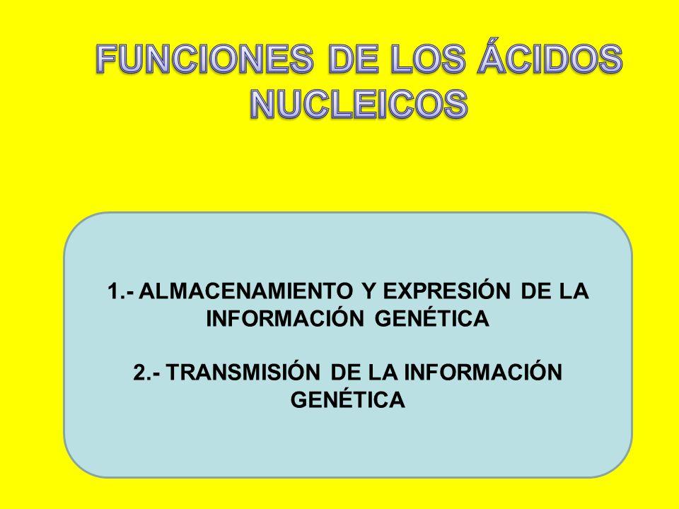 1.- ALMACENAMIENTO Y EXPRESIÓN DE LA INFORMACIÓN GENÉTICA 2.- TRANSMISIÓN DE LA INFORMACIÓN GENÉTICA