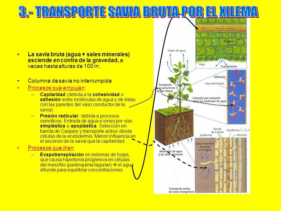 La savia bruta (agua + sales minerales) asciende en contra de la gravedad, a veces hasta alturas de 100 m. Columna de savia no interrumpida Procesos q