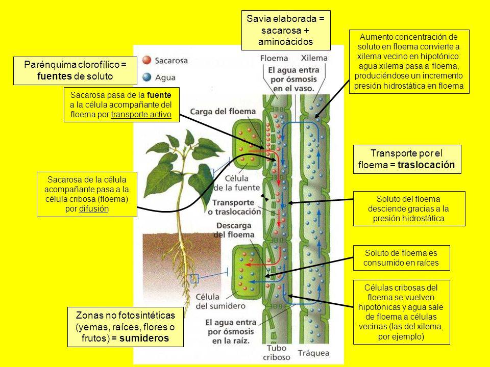 Células cribosas del floema se vuelven hipotónicas y agua sale de floema a células vecinas (las del xilema, por ejemplo) Soluto de floema es consumido