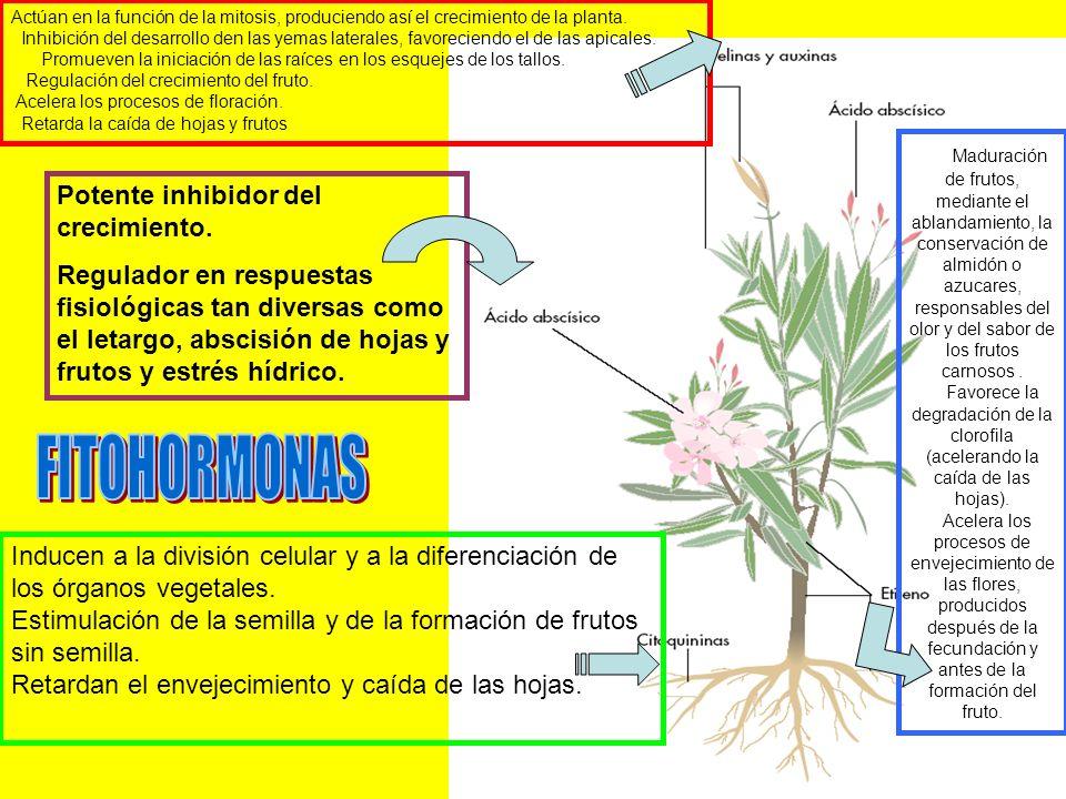 Actúan en la función de la mitosis, produciendo así el crecimiento de la planta. Inhibición del desarrollo den las yemas laterales, favoreciendo el de