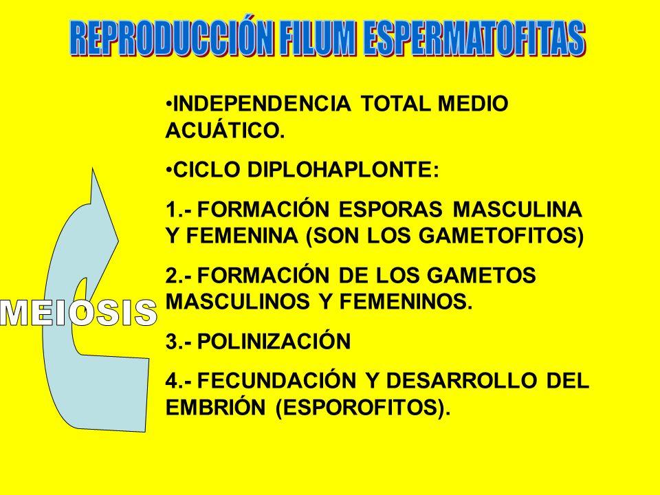 INDEPENDENCIA TOTAL MEDIO ACUÁTICO. CICLO DIPLOHAPLONTE: 1.- FORMACIÓN ESPORAS MASCULINA Y FEMENINA (SON LOS GAMETOFITOS) 2.- FORMACIÓN DE LOS GAMETOS