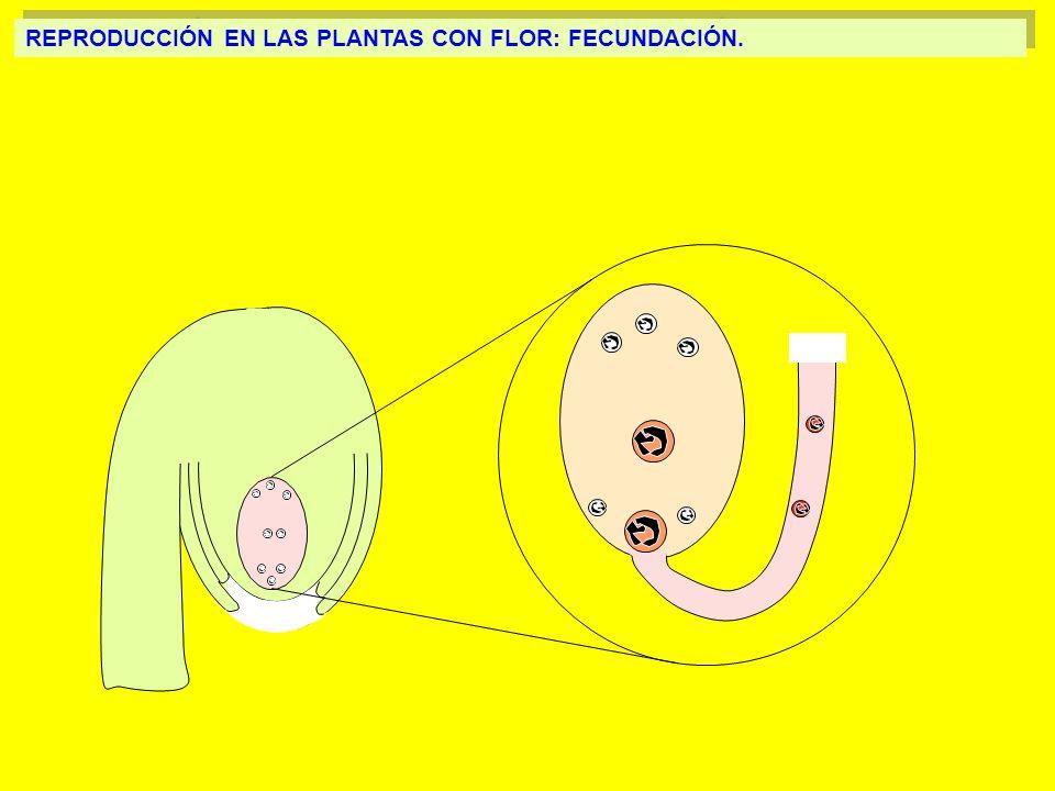 REPRODUCCIÓN EN LAS PLANTAS CON FLOR: FECUNDACIÓN.