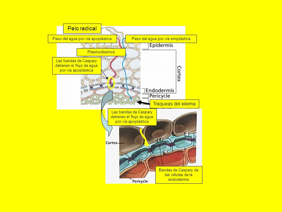 Paso del agua por vía simplástica Bandas de Caspary de las células de la endodermis Las bandas de Caspary detienen el flujo de agua por vía apoplástic