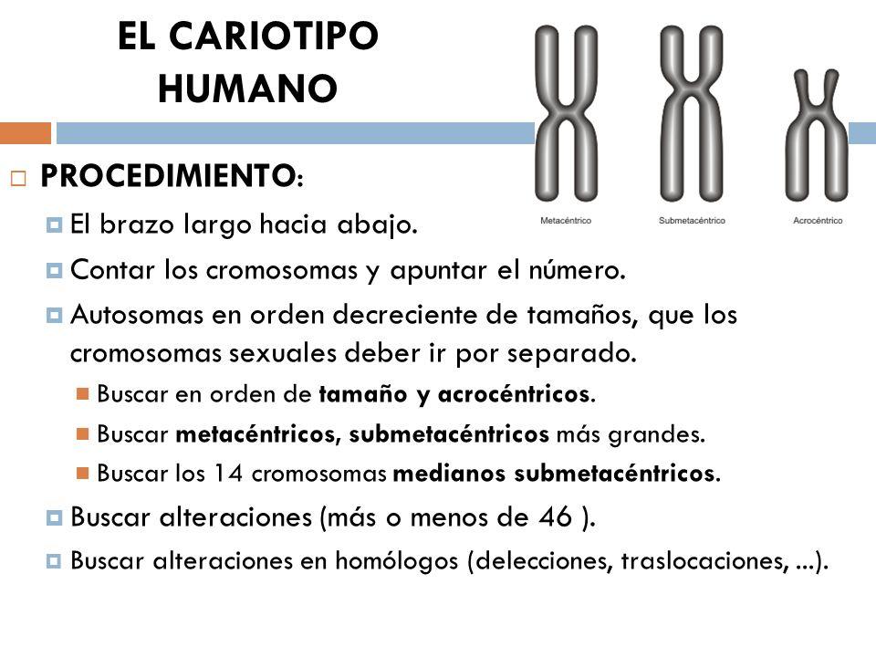 EL CARIOTIPO HUMANO PROCEDIMIENTO: El brazo largo hacia abajo. Contar los cromosomas y apuntar el número. Autosomas en orden decreciente de tamaños, q
