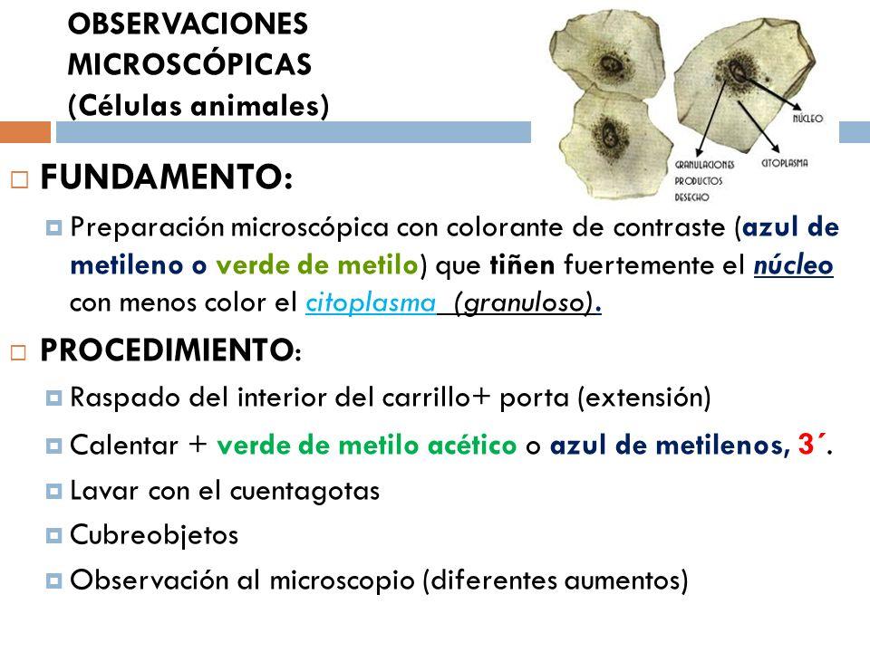 OBSERVACIONES MICROSCÓPICAS (Células animales) FUNDAMENTO: Preparación microscópica con colorante de contraste (azul de metileno o verde de metilo) qu