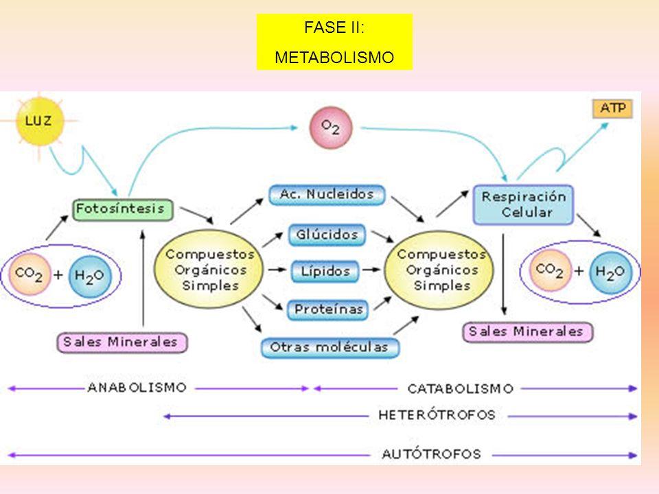 FASE II: METABOLISMO