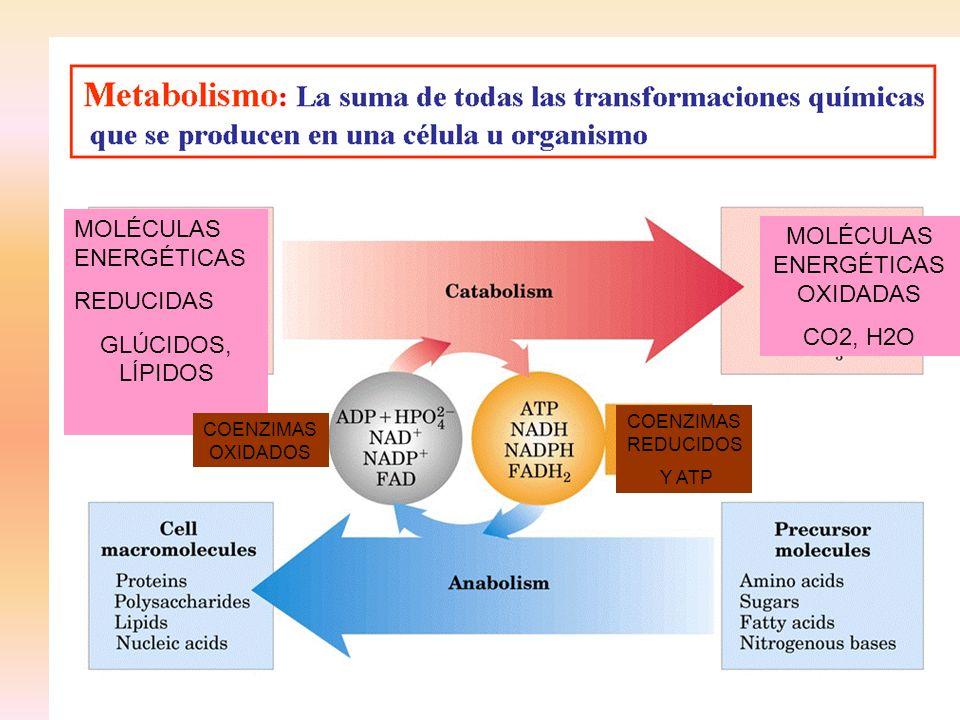 MOLÉCULAS ENERGÉTICAS REDUCIDAS GLÚCIDOS, LÍPIDOS MOLÉCULAS ENERGÉTICAS OXIDADAS CO2, H2O COENZIMAS REDUCIDOS Y ATP COENZIMAS OXIDADOS