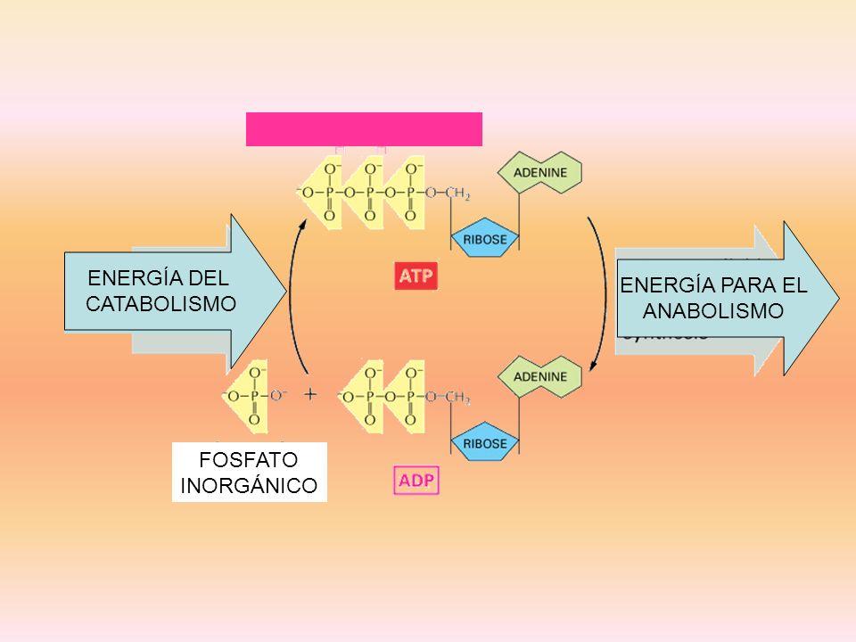 ENERGÍA DEL CATABOLISMO ENERGÍA DEL CATABOLISMO ENERGÍA PARA EL ANABOLISMO FOSFATO INORGÁNICO