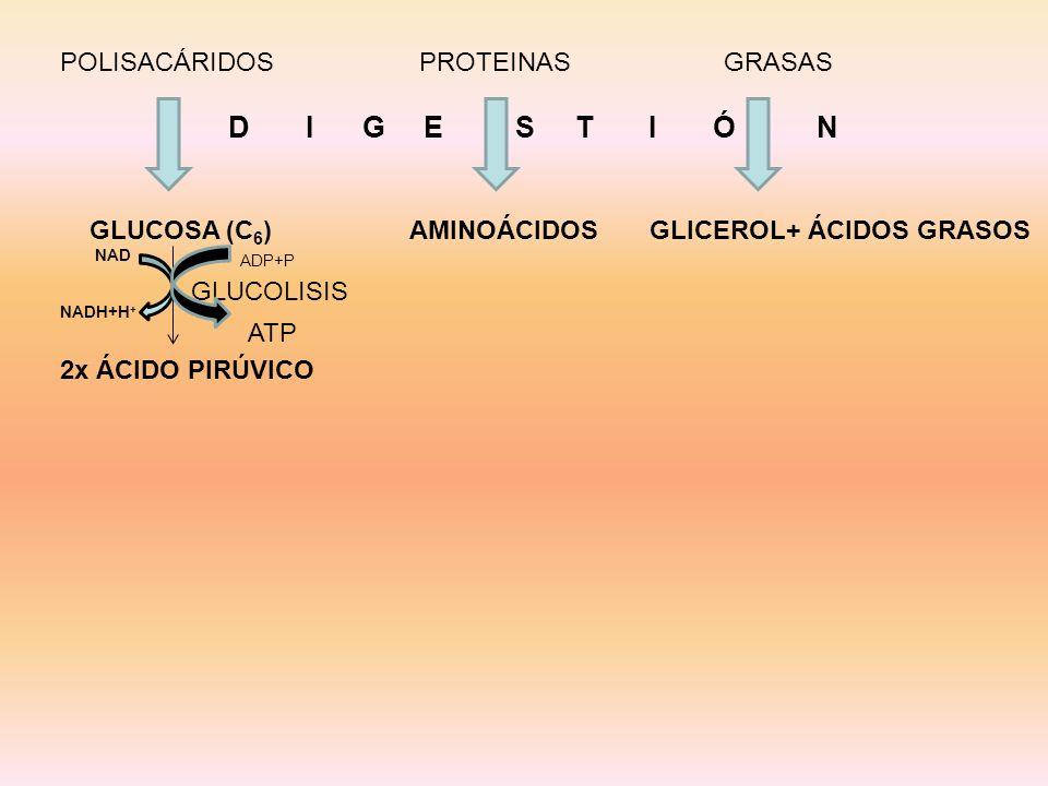 POLISACÁRIDOS PROTEINAS GRASAS D I G E S T I Ó N GLUCOSA (C 6 ) AMINOÁCIDOS GLICEROL+ ÁCIDOS GRASOS NAD NADH+H + 2x ÁCIDO PIRÚVICO GLUCOLISIS ADP+P AT