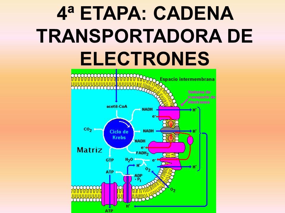 4ª ETAPA: CADENA TRANSPORTADORA DE ELECTRONES