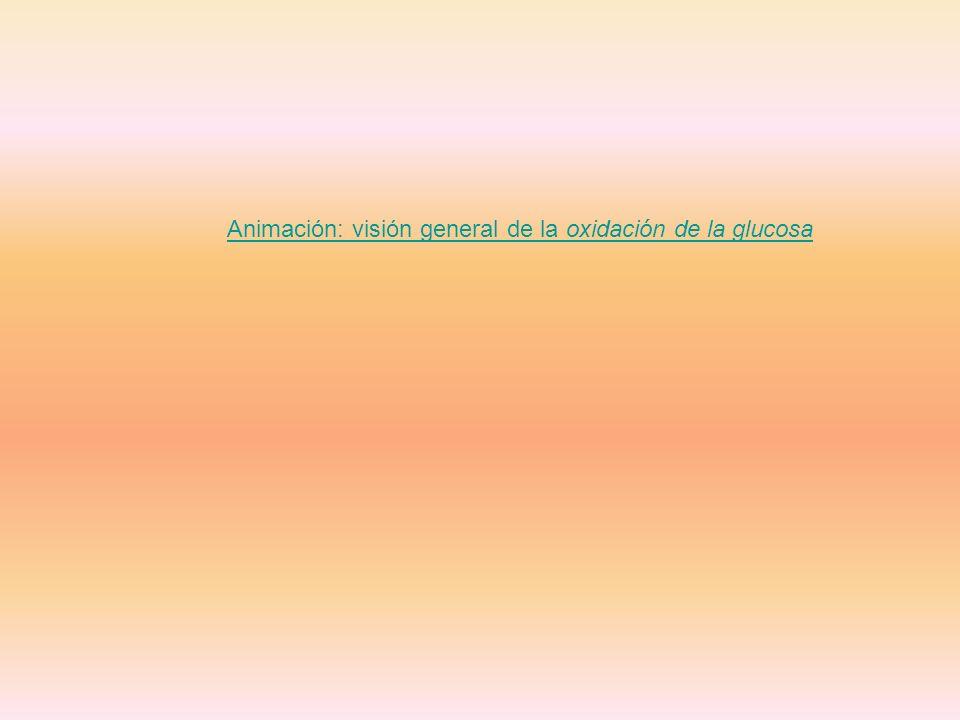 Animación: visión general de la oxidación de la glucosa