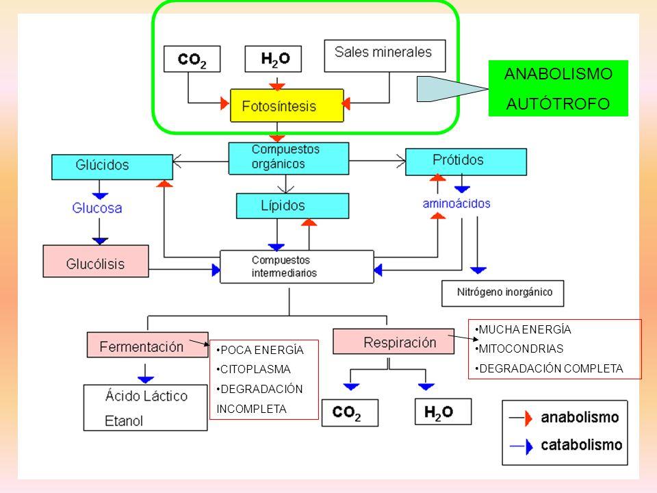 POCA ENERGÍA CITOPLASMA DEGRADACIÓN INCOMPLETA MUCHA ENERGÍA MITOCONDRIAS DEGRADACIÓN COMPLETA ANABOLISMO AUTÓTROFO