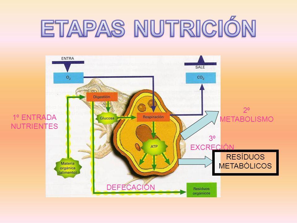 RESÍDUOS METABÓLICOS 3º EXCRECIÓN 2º METABOLISMO DEFECACIÓN 1º ENTRADA NUTRIENTES
