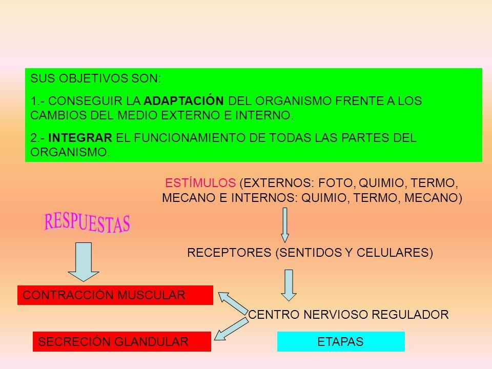 SUS OBJETIVOS SON: 1.- CONSEGUIR LA ADAPTACIÓN DEL ORGANISMO FRENTE A LOS CAMBIOS DEL MEDIO EXTERNO E INTERNO. 2.- INTEGRAR EL FUNCIONAMIENTO DE TODAS