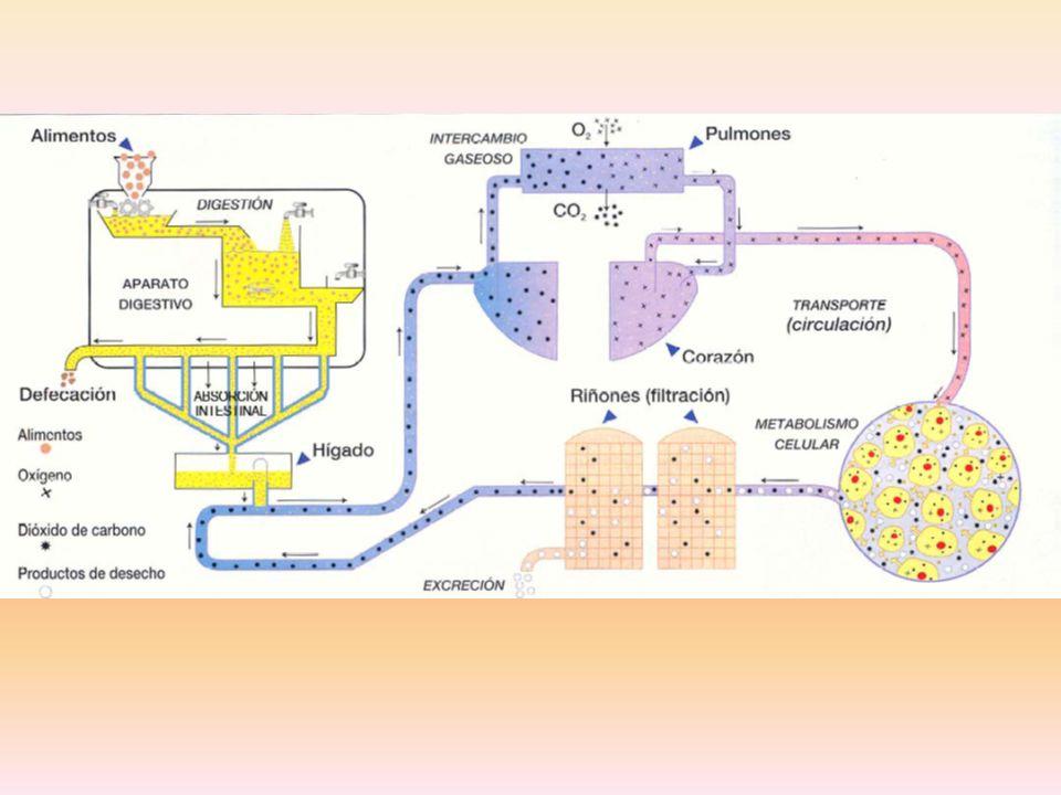 POLISACÁRIDOS PROTEINAS GRASAS D I G E S T I Ó N GLUCOSA (C 6 ) AMINOÁCIDOS GLICEROL+ ÁCIDOS GRASOS NAD NADH+H + 2x ÁCIDO PIRÚVICO GLUCOLISIS ADP+P ATP