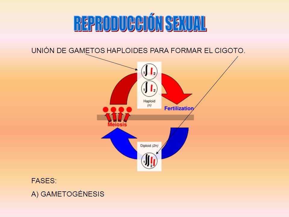 UNIÓN DE GAMETOS HAPLOIDES PARA FORMAR EL CIGOTO. FASES: A) GAMETOGÉNESIS