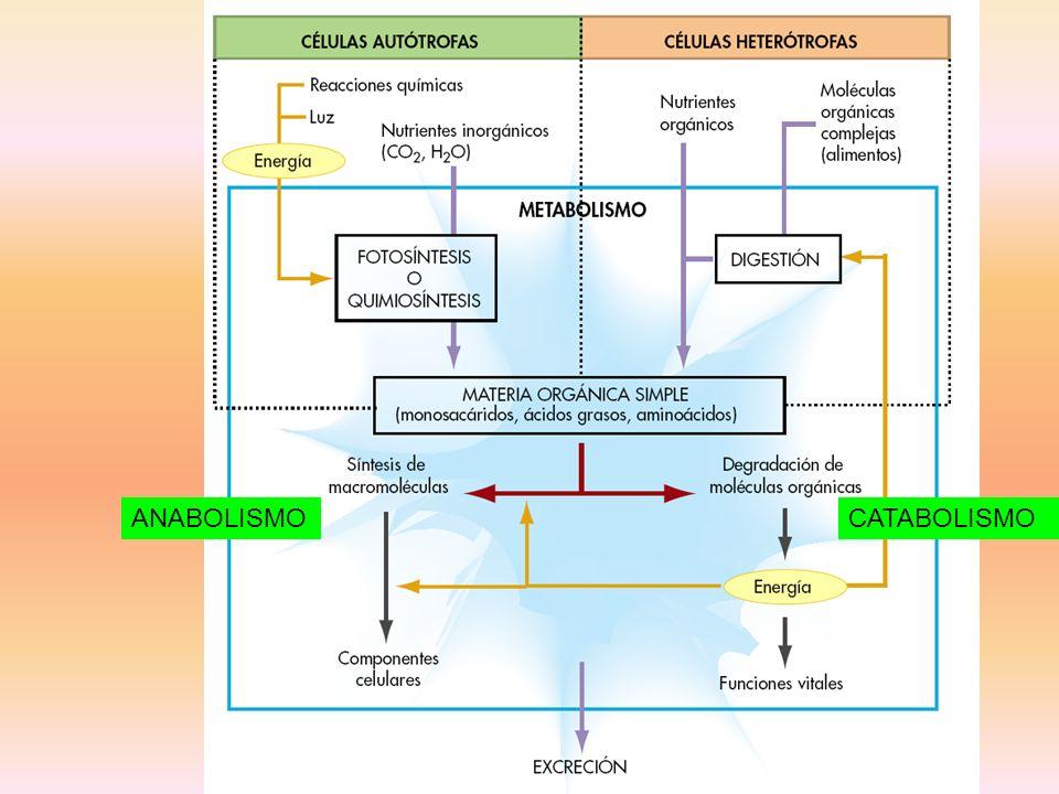 TRANSPORTE PASIVO: A FAVOR DE GRADIENTE DIFUSIÓN SIMPLE DIFUSIÓN FACILITADA TRANSPORTE ACTIVO EN CONTRA DE GRADIENTE ENDOCITOSIS (PINOCITOSIS Y FAGOCITOSIS) FASE I ENTRADA EN LA CÉLULA MOLÉCULAS PEQUEÑAS MOLÉCULAS GRANDES DIRECTA CANALES