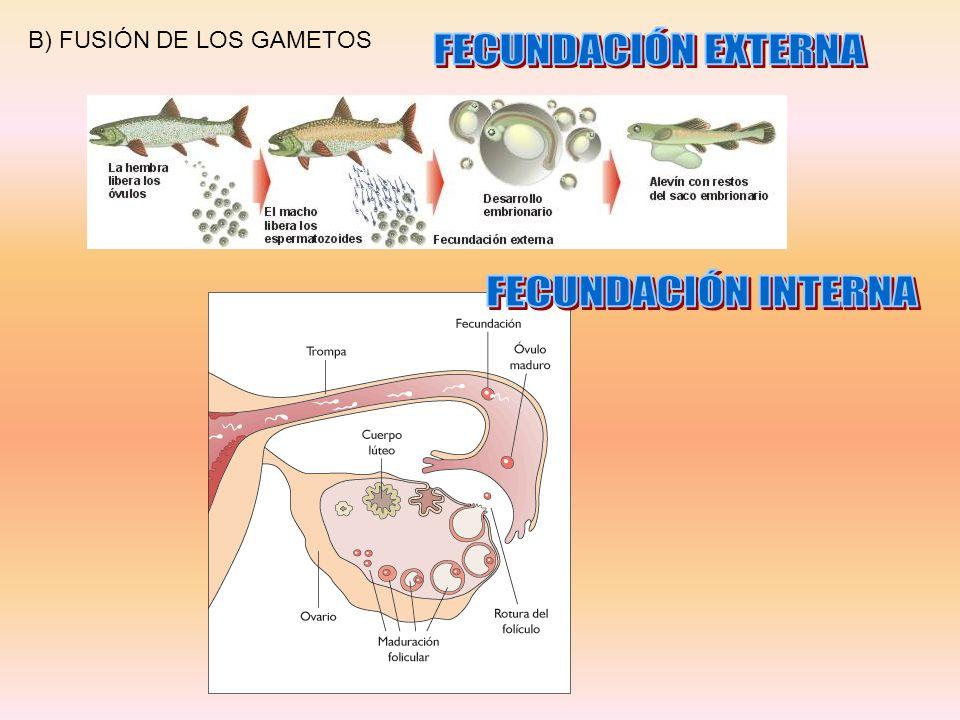 B) FUSIÓN DE LOS GAMETOS