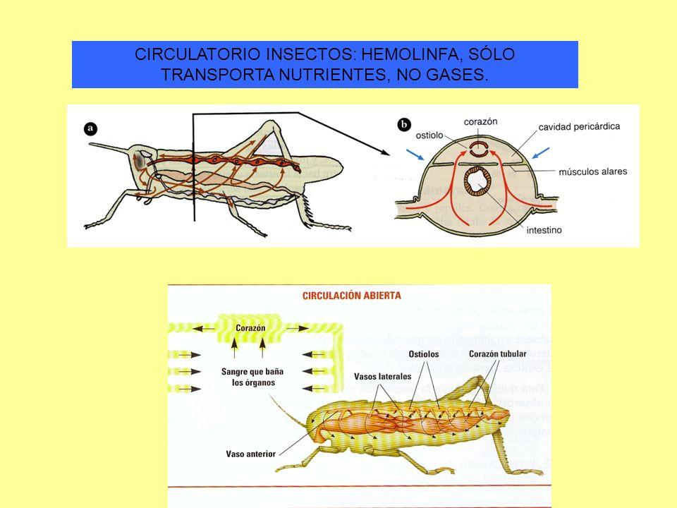 CIRCULATORIO INSECTOS: HEMOLINFA, SÓLO TRANSPORTA NUTRIENTES, NO GASES.