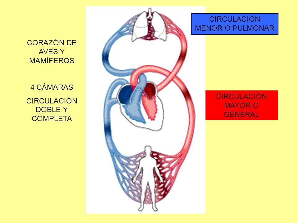CIRCULACIÓN MENOR O PULMONAR CIRCULACIÓN MAYOR O GENERAL CORAZÓN DE AVES Y MAMÍFEROS 4 CÁMARAS CIRCULACIÓN DOBLE Y COMPLETA
