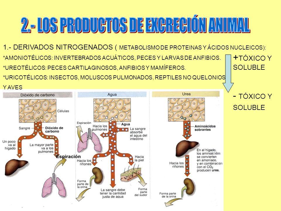 1.- DERIVADOS NITROGENADOS ( METABOLISMO DE PROTEINAS Y ÁCIDOS NUCLEICOS): *AMONIOTÉLICOS: INVERTEBRADOS ACUÁTICOS, PECES Y LARVAS DE ANFIBIOS. *UREOT