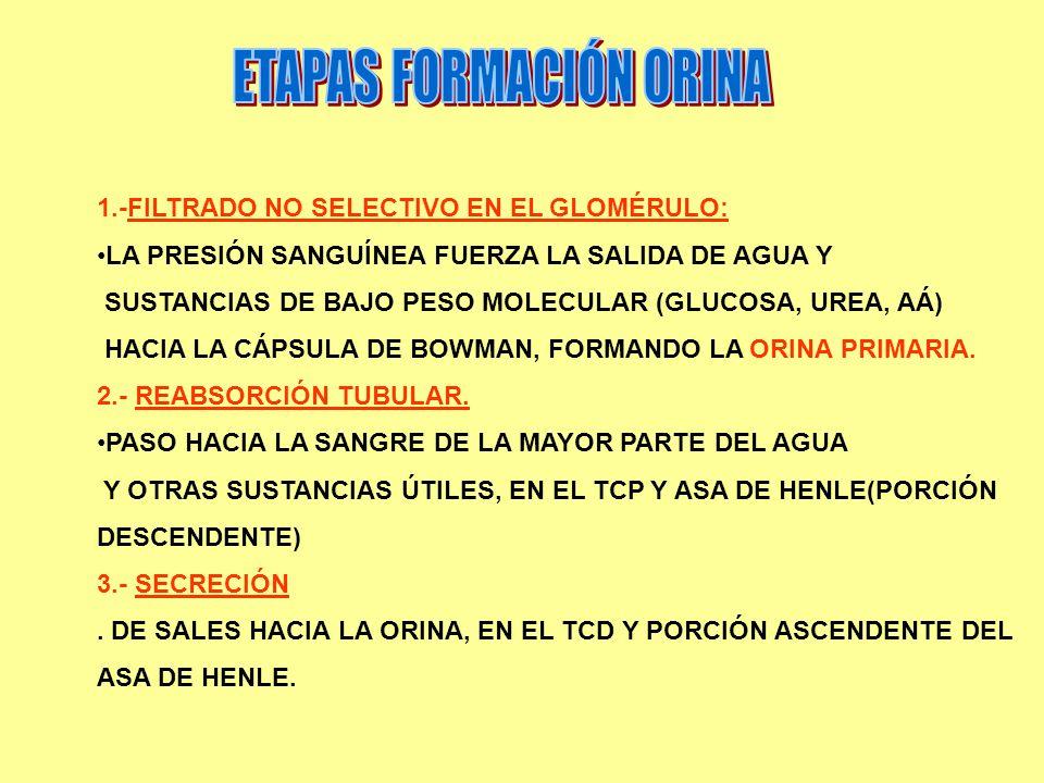 1.-FILTRADO NO SELECTIVO EN EL GLOMÉRULO: LA PRESIÓN SANGUÍNEA FUERZA LA SALIDA DE AGUA Y SUSTANCIAS DE BAJO PESO MOLECULAR (GLUCOSA, UREA, AÁ) HACIA LA CÁPSULA DE BOWMAN, FORMANDO LA ORINA PRIMARIA.