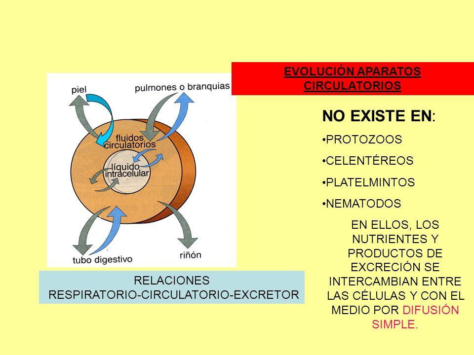 RELACIONES RESPIRATORIO-CIRCULATORIO-EXCRETOR EVOLUCIÓN APARATOS CIRCULATORIOS NO EXISTE EN: PROTOZOOS CELENTÉREOS PLATELMINTOS NEMATODOS EN ELLOS, LOS NUTRIENTES Y PRODUCTOS DE EXCRECIÓN SE INTERCAMBIAN ENTRE LAS CÉLULAS Y CON EL MEDIO POR DIFUSIÓN SIMPLE.