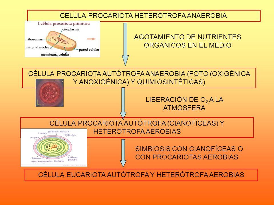 CÉLULA PROCARIOTA HETERÓTROFA ANAEROBIA AGOTAMIENTO DE NUTRIENTES ORGÁNICOS EN EL MEDIO CÉLULA PROCARIOTA AUTÓTROFA ANAEROBIA (FOTO (OXIGÉNICA Y ANOXI