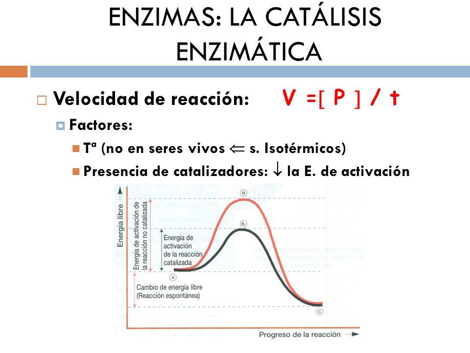 ENZIMAS: LA CATÁLISIS ENZIMÁTICA Velocidad de reacción: V = P / t Factores: Tª (no en seres vivos s. Isotérmicos) Presencia de catalizadores: la E. de