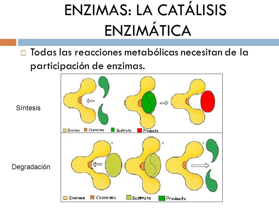 ENZIMAS: LA CATÁLISIS ENZIMÁTICA Todas las reacciones metabólicas necesitan de la participación de enzimas. Síntesis Degradación