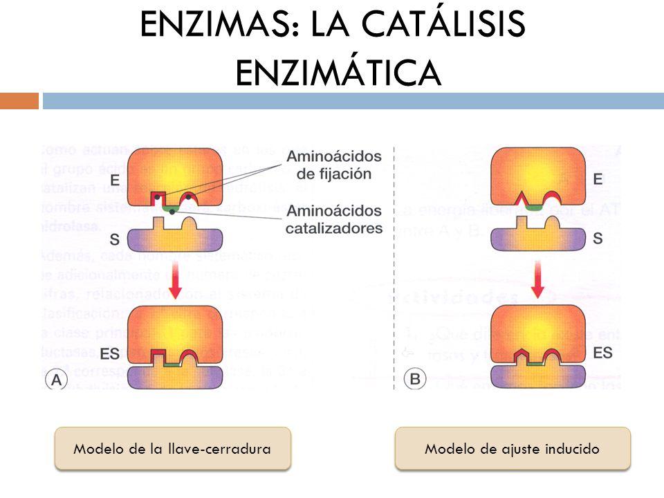 Modelo de la llave-cerradura Modelo de ajuste inducido ENZIMAS: LA CATÁLISIS ENZIMÁTICA