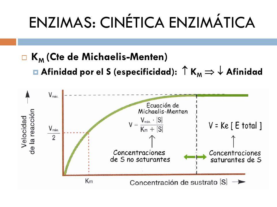 ENZIMAS: CINÉTICA ENZIMÁTICA K M (Cte de Michaelis-Menten) Afinidad por el S (especificidad): K M Afinidad