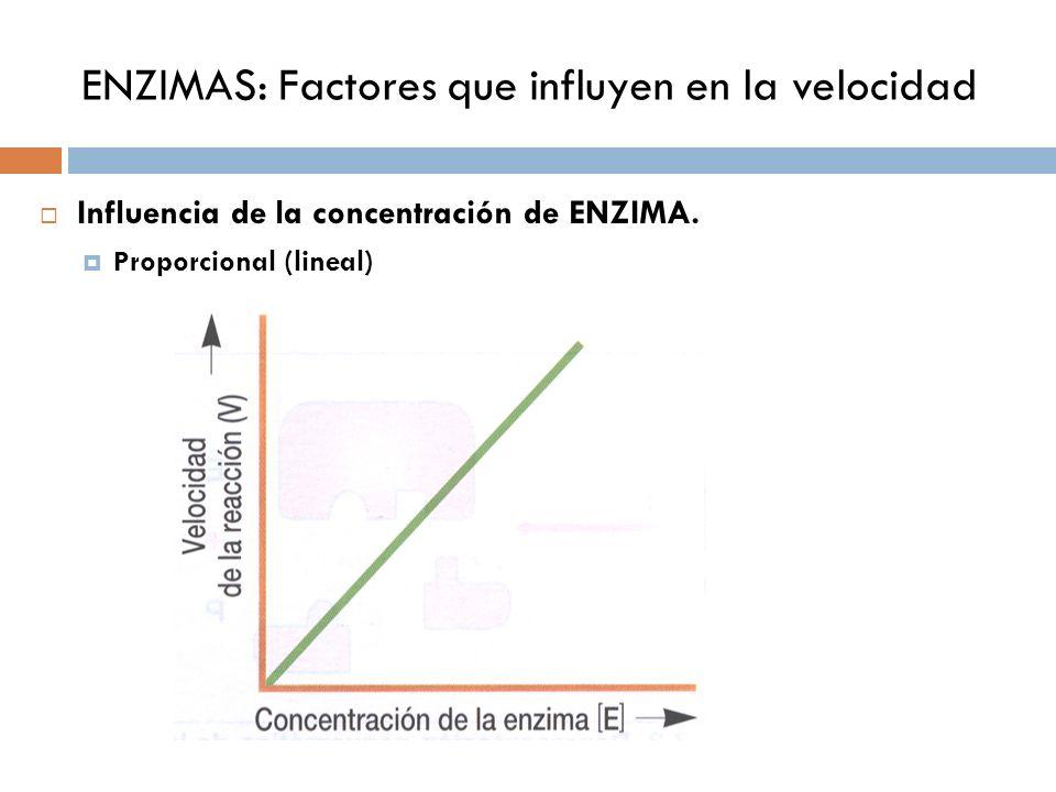 ENZIMAS: Factores que influyen en la velocidad Influencia de la concentración de ENZIMA. Proporcional (lineal)