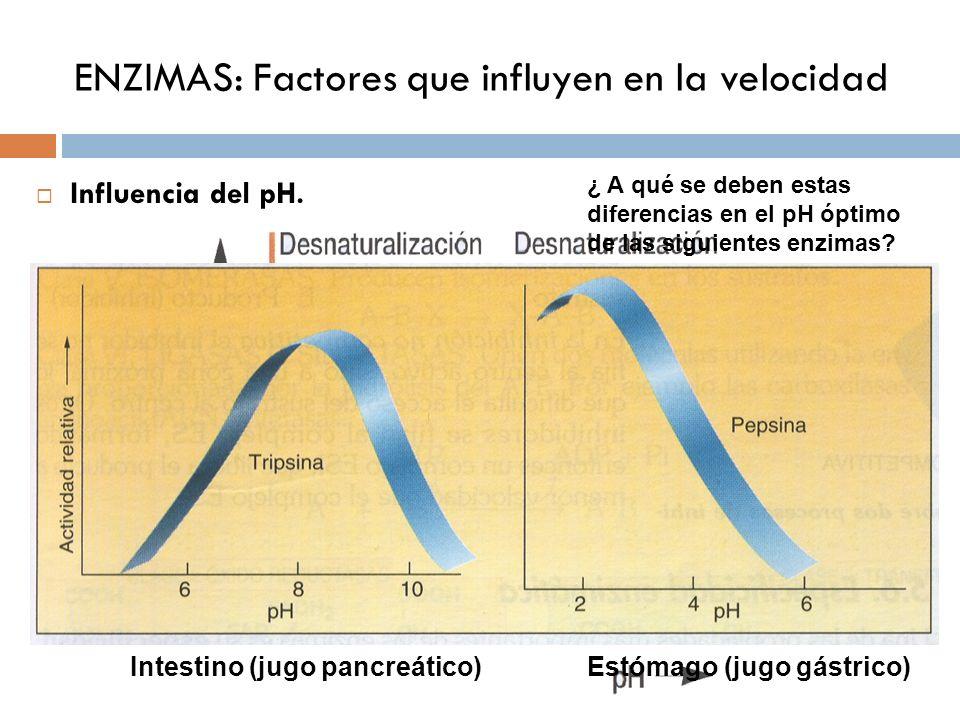 ENZIMAS: Factores que influyen en la velocidad Influencia del pH. Intestino (jugo pancreático)Estómago (jugo gástrico) ¿ A qué se deben estas diferenc