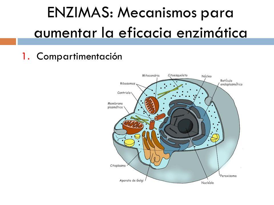 ENZIMAS: Mecanismos para aumentar la eficacia enzimática 1.Compartimentación