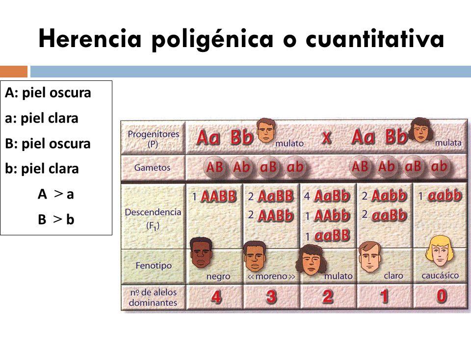 Genes letales X A : viable X a : letal X A > X a P: X A Y x X A X a varón normal hembra portadora G: ½ X A ½ Y ½ X A ½ X a F: ¼X A X A ¼X A X a ¼ X A Y ¼ X a Y (NO NACE) Probabilidades FENOTÍPICAS de la F 1/3 2/3