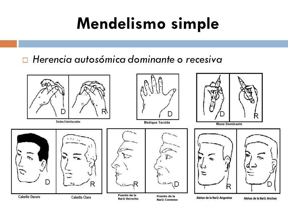 Mendelismo simple Herencia autosómica dominante o recesiva D R RR D D D DR D