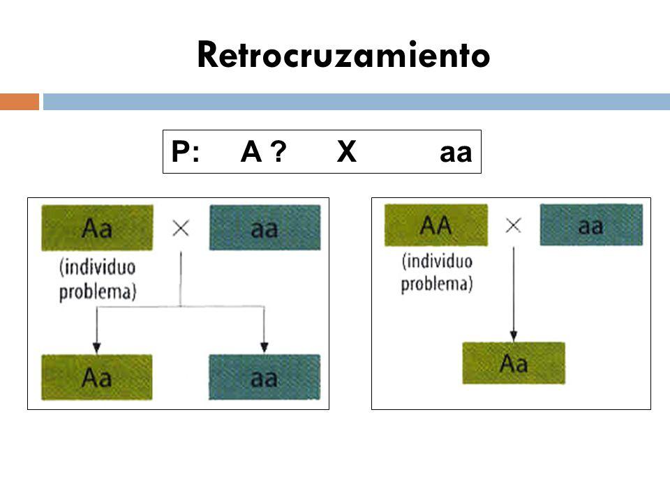 Retrocruzamiento P: A ? X aa