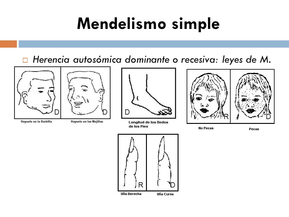 Mendelismo simple Herencia autosómica dominante o recesiva: leyes de M. D R R D D D D