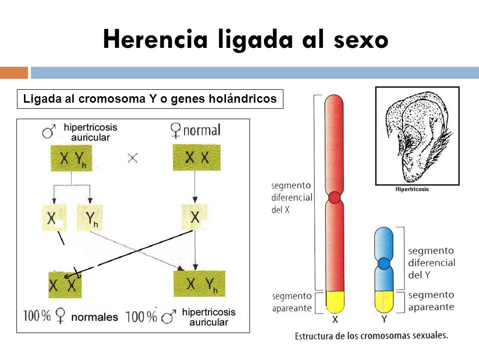 Herencia ligada al sexo Ligada al cromosoma Y o genes holándricos
