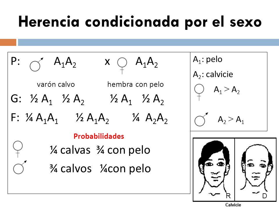 Herencia condicionada por el sexo P: A 1 A 2 x A 1 A 2 varón calvo hembra con pelo G: ½ A 1 ½ A 2 ½ A 1 ½ A 2 F: ¼ A 1 A 1 ½ A 1 A 2 ¼ A 2 A 2 Probabi