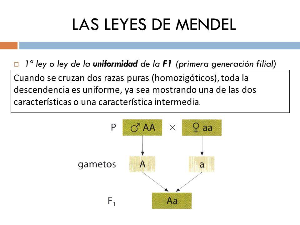 LAS LEYES DE MENDEL 1ª ley o ley de la uniformidad de la F1 (primera generación filial) Cuando se cruzan dos razas puras (homozigóticos), toda la desc