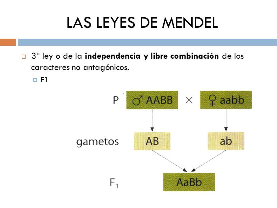LAS LEYES DE MENDEL 3ª ley o de la independencia y libre combinación de los caracteres no antagónicos. F1